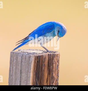 Birds, Male Mountain Blue Bird perched on a fence post, Yellowstone National Park, Wyoming - Stock Photo