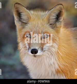Portrait of a Red Fox. - Stock Photo
