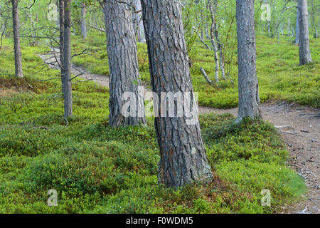 Footpath winding between Scots pine (Pinus sylvestris) trunks, old growth pine forest, Saltoluokta area, Greater - Stock Photo