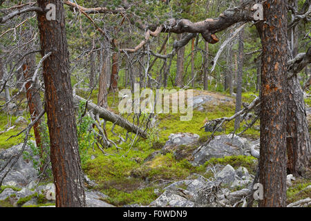 Scots pine (Pinus sylvestris) trunks in old-growth pine forest, Stora Sjofallet National Park, Greater Laponia Rewilding - Stock Photo