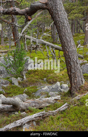 Scots pine (Pinus sylvestris) trunk in old-growth pine forest, Stora Sjofallet National Park, Greater Laponia Rewilding - Stock Photo