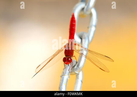 Red Dragonfly on steel chain with yellow background