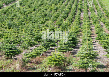 A plantation of young conifers by Netherraw Forestry Ltd, at Lilliesleaf,  Melrose, Scotland, UK - Stock Photo