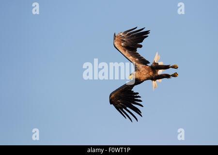 White tailed sea eagle (Haliaeetus albicilla) flying, taken from fishing boat on sea eagle safari tour, Stettin - Stock Photo