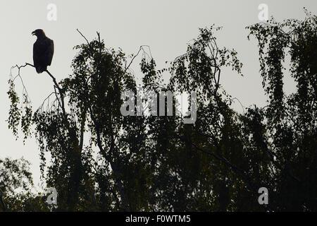 White tailed sea eagle (Haliaeetus albicilla) perched, taken from fishing boat on sea eagle safari tour, Stettin - Stock Photo