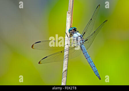 Eastern Pondhawk Dragonfly - Stock Photo