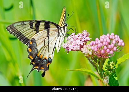 Tiger Swallowtail Butterfly feeding on flowers - Stock Photo