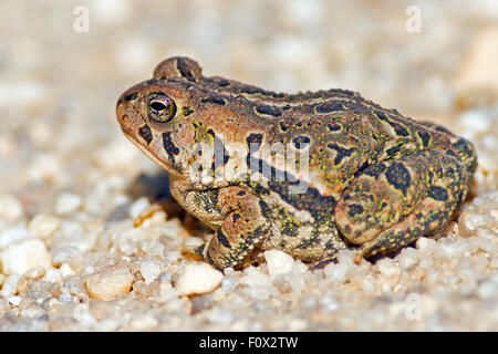 Fowler's Toad  on a dirt Road Stock Photo