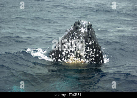 Humpback Whale off the coast of Maui Hawaii exhibiting behavior called a spy hop where it sticks its head out of - Stock Photo