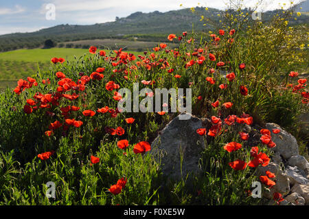 Red Poppies and Yellow Rocket weeds at rock outcrop in farm field above Puerto Lope village Andalusia Spain - Stock Photo