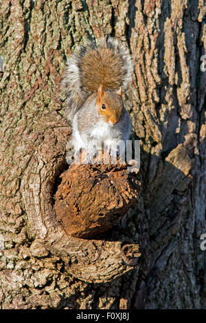 Eastern Gray Squirrel in Tree - Stock Photo
