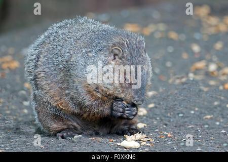 Groundhog Eating peanuts - Stock Photo