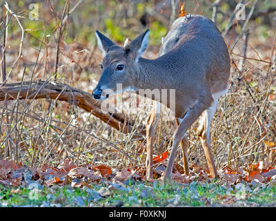 White-tailed Deer in the woods - Stock Photo