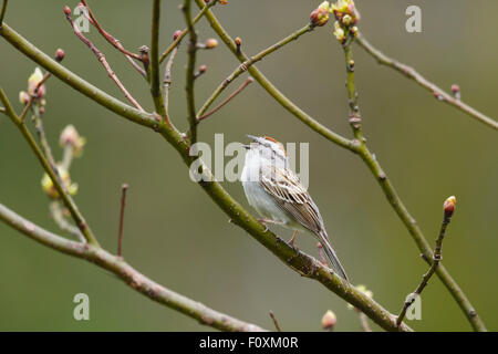 Chipping Sparrow - male calling Spizella passerina Ontario, Canada BI027242 - Stock Photo
