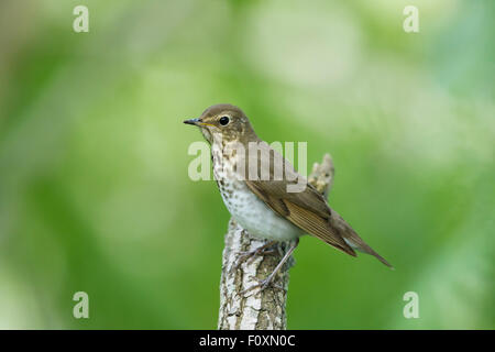 Swainson's Thrush Catharus ustulatus Gulf Coast of Texas, USA BI027335 - Stock Photo