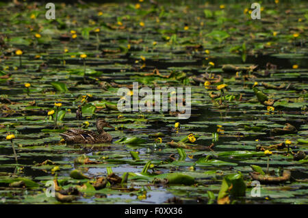 Lily pond in Bedelands Nature Reserve, West Sussex - Stock Photo