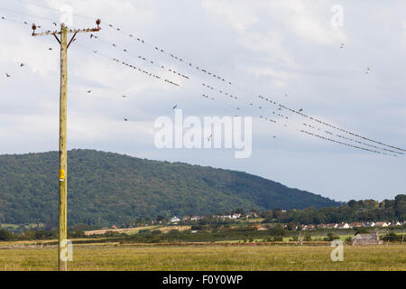 House martins gathering on electricity wires, in preparation for migration. - Stock Photo