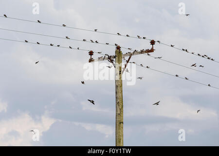House martins gathering on electricity poles, in preparation for migration. - Stock Photo