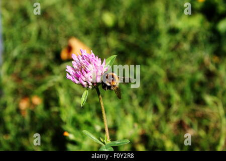 a bee on flower - Stock Photo