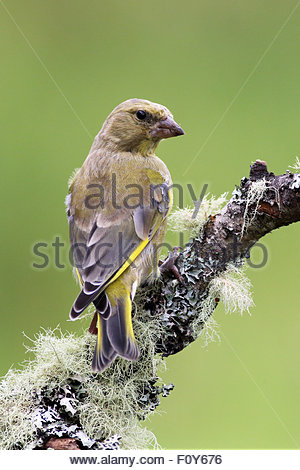 A Greenfinch perched on a lichen covered tree branch. - Stock Photo