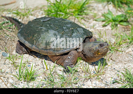Common Snapping Turtle on Road - Stock Photo