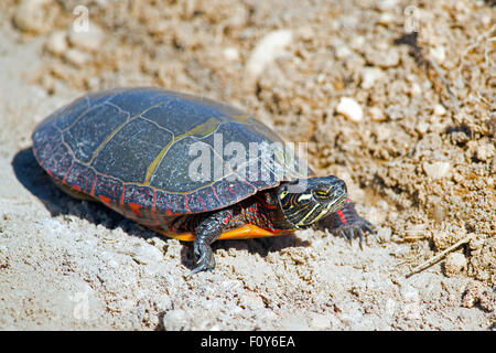 Eastern Painted Turtle - Stock Photo