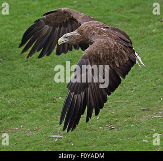 A beautiful White-tailed Sea Eagle in flight against green grass - Stock Photo