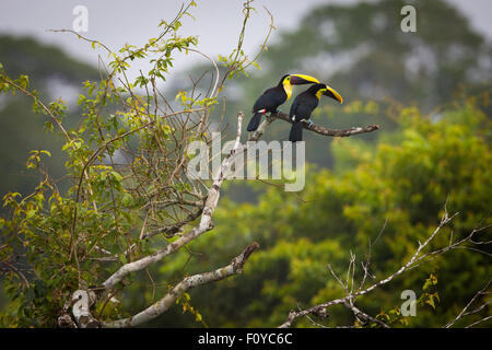 A pair of Chestnut-mandibled Toucans, Ramphastos swainsonii, in the forest canopy of Soberania national park, Republic - Stock Photo
