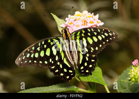 Tailed jay butterfly, Graphium agamemnon, an Australasian tropical swallowtail species - Stock Photo