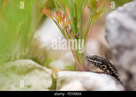 A lizard peeking out from his hideout. - Stock Photo