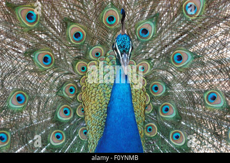 Head and feathers of a Peacock (Indian Peafowl) Pavo cristatus - Stock Photo