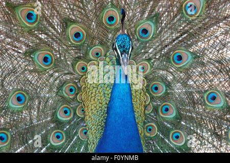 Head shot of a Peacock (Indian Peafowl) Pavo cristatus - Stock Photo