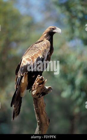 Australian Wedge-tailed eagle (Aquila audax) perched on tree branch, Western Australia. - Stock Photo