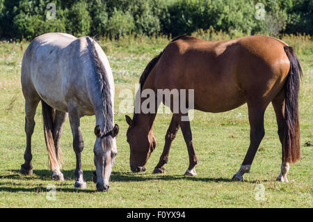 Chestnut and grey horse grazing on summertime pasture - Stock Photo