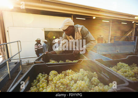 Vineyard worker unloading grape boxes from truck in wine factory. African man unloading crate full of grapes in - Stock Photo