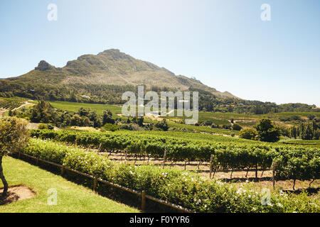 Green cultivated farm fields with grape crops for the winemaking industry. Grape farming for winery. Rows of vines - Stock Photo