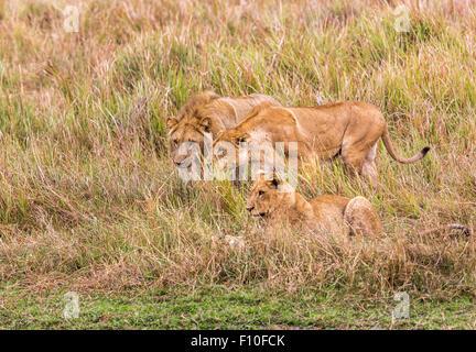 Lions (Panthera leo) on the hunt, Okavango Delta, north Botswana, southern Africa - Stock Photo