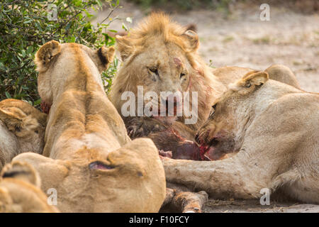 Lions feasting on a recent buffalo calf kill, Okavango Delta, north Botswana, southern Africa - Stock Photo