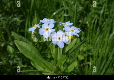 Blue flower of water or true forget-me-not, Myosotis scorpioides, Berkshire, June - Stock Photo