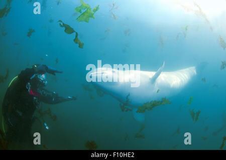 Oct. 15, 2014 - Sea Of Japan, Primorye, Far East, Russia - Beluga whale or white whale (Delphinapterus leucas) Sea - Stock Photo