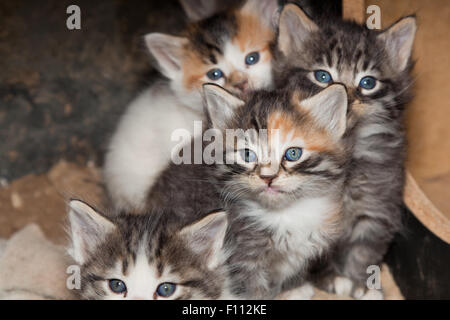 A fluffy calico kitten with blue eyes with green patterns around the pupil sits between members of its family. - Stock Photo