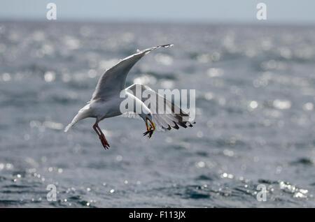 Herring gull crab bird gull nature wildlife Sea - Stock Photo
