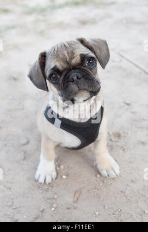 French bulldog and pug mixed breed puppy - Stock Photo