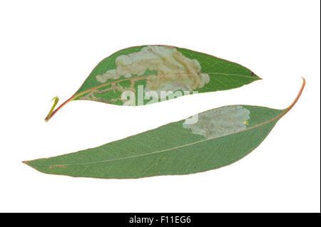 Leaf blister sawfly (Phylacteophaga sp.) on eucalyptus leaves - Stock Photo