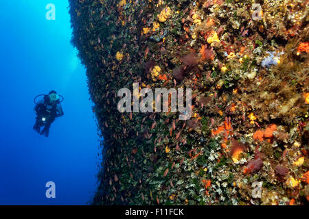 Diver by a vertical rock face, thick growth with different sponges (Porifera), algae (Algae) and moss animals (Bryozoa), - Stock Photo