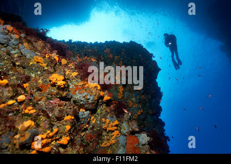Diver by a steep rock face, thick growth with different sponges (Porifera), algae (Algae) and moss animals (Bryozoa), - Stock Photo