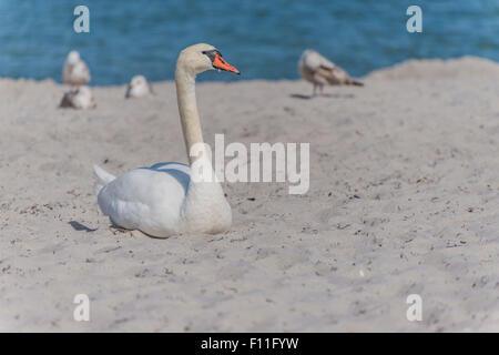 Mute Swan (Cygnus olor) resting in the sand on the beach, Baltic Sea, Bad Boltenhagen, Mecklenburg-Western Pomerania, - Stock Photo