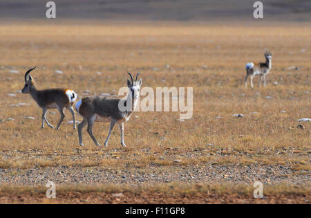 Lhasa. 20th Oct, 2012. Photo taken on Oct. 20, 2012 shows Mongolian gazelles living on Northern Tibet Grassland, - Stock Photo