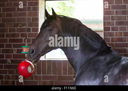 Holsteiner Horse  Stallion playing ball - Stock Photo