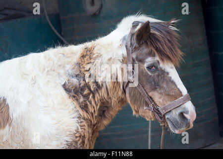 Domestic horse Old pony suffering from Cushings Syndrome - Stock Photo